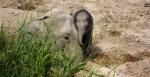 Elefant baby, Köpenhamns Zoo (1)