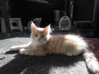 Katt, Sibirisk kattunge