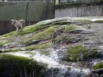 Varg, Skansen, nytt vargpar(1)