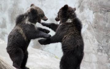Björnungar som leker på Skansen