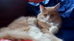 sibirisk-katt